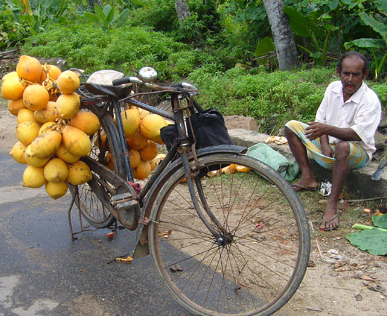 King Coconut trink man beim wandern in Sri Lanka .jpg